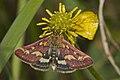 Pyrausta.purpuralis.7557.jpg