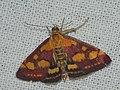 Pyrausta purpuralis - Огнёвка пурпурная (26974039988).jpg