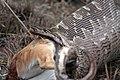 Python natalensis Antelope South Africa.jpg
