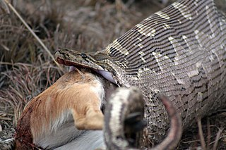 Rock Python consuming gazelle
