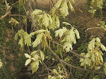 Quercus-pyrenaica-20110403.jpg