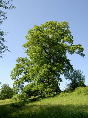 Description de l'image  Image:Quercus cerris.JPG .