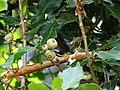 Quercus floribunda acorns.jpg