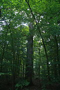 Quercus robur memorial tree near natural monument Černá blata, Třebíč District.JPG