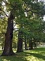 Quercus robus Stiel-Eiche Naturdenkmal Platnersberganlage Nürnberg 20170825 120617.jpg