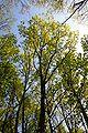 Quercus rubra tree.JPG