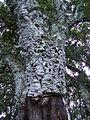 Quercus suber7.JPG