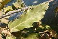 Quercus trojana4.jpg