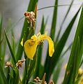 RNR Gorges de la Loire, Iris jaune 2.jpg