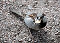 RU - Saint Petersburg - Chordata - Animalia - Aves - Passeridae - Passeriformes (4891472980).jpg