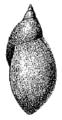 Radix natalensis shell 5.png