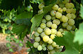 Rahovec Grapes.jpg