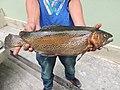 Rainbow trout, Sikkim AJTJ DSCN6530.jpg