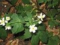 Ranunculus aconitifolius 02.jpg