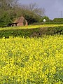 Rape field at Stock Wood - geograph.org.uk - 5993.jpg