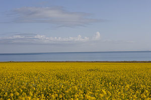 Rapeseed at Qinghai Lake.jpg