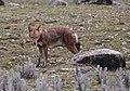 Rare Ethiopian Wolf Feeding, Bale, Ethiopia (9681610338).jpg
