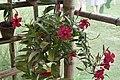 Rare Ornamental Plant in Bicol.jpg