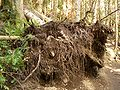 Rattlesnake-Mt-uprooted-tree-3966.jpg