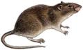 Rattus norvegicus (white background).png