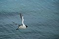 Razorbill heading out.jpg