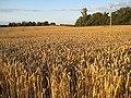 Ready for harvesting - geograph.org.uk - 906841.jpg
