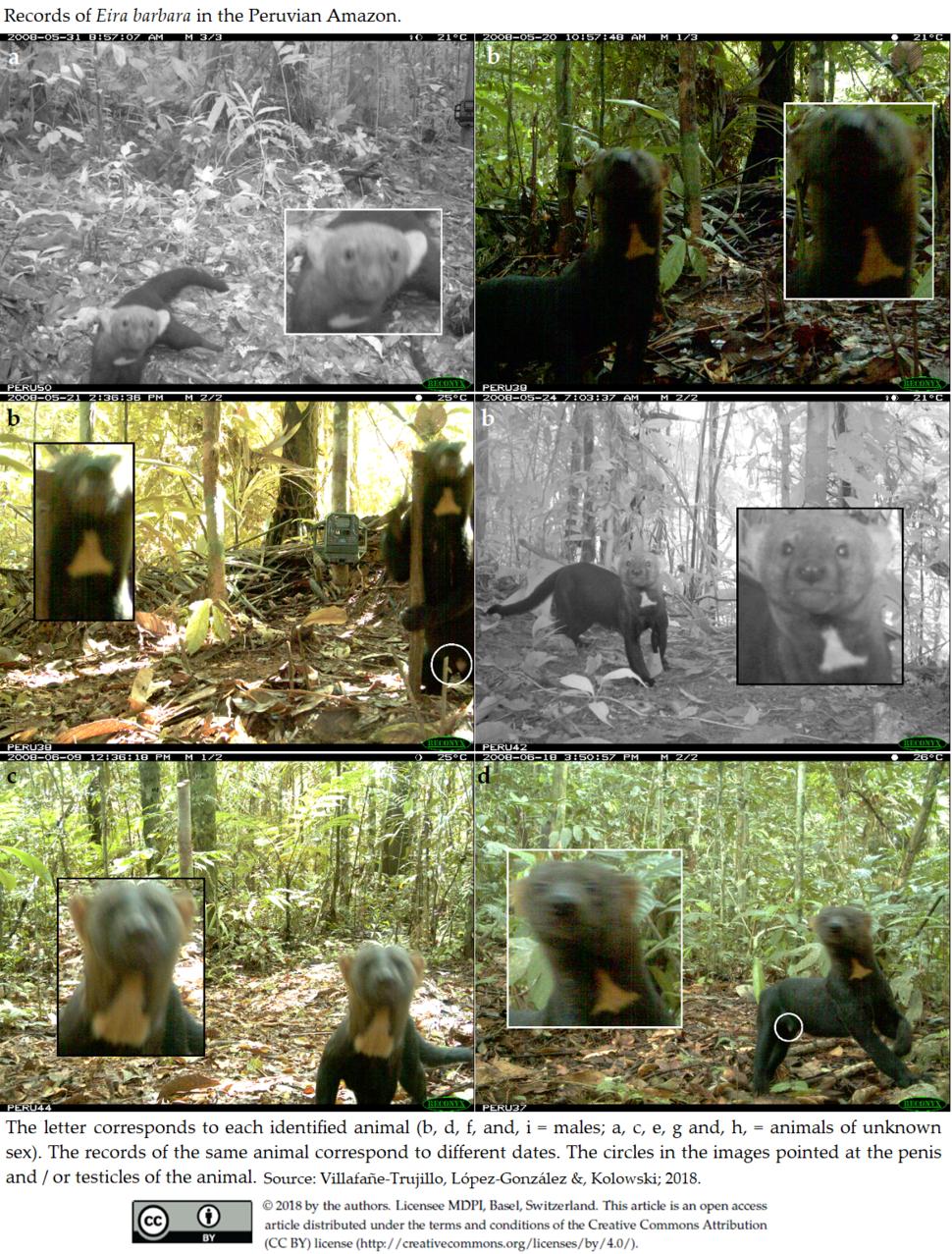 Records of Eira barbara in the Peruvian Amazon. 1 of 2