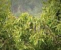 Red-cheeked Parrot. Geoffroyus geoffroyi (48722645422).jpg