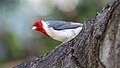 Red-crested Cardinal (Paroaria coronata) (26398370361).jpg