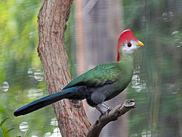 Red-crested Turaco RWD.jpg