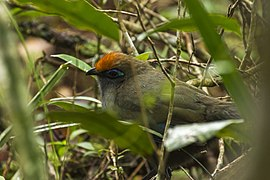 Red-fronted Coua - Andasibè - Madagascar MG 0718 (15102020980).jpg