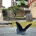 Red-spotted purple butterfly, Harpers Ferry NHP (18904731833).jpg