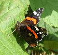 Red Admiral - Flickr - gailhampshire.jpg
