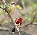 Red Avadavat (Amandava amandava) W2 IMG 0435.jpg