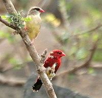 Red Avadavat (Amandava amandava) W2 IMG 0435