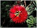 Red Bottlebrush - Flickr - pinemikey.jpg