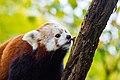 Red Panda (26773073229).jpg