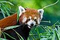 Red Panda (37242359470).jpg