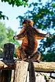 Red Ruffed Lemur (50350436901).jpg