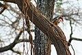 Red billed hornbill (Tockus erythrorhychus), Ginak Gambia (4076126924).jpg