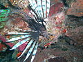 Red lionfish above.JPG