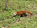 Red panda in Darjeeling Zoo AJTJ P1110776.jpg