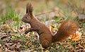 Red squirrel (explored) - Flickr - hedera.baltica (8).jpg