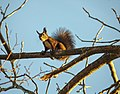 Red squirrel Rabka 10.2018.jpg