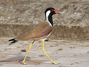 Nanmangalam Reserve Forest - Red-wattled lapwing