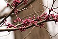 Redbuds - Abraham Lincoln Birthplace National Historic Site - 30 Mar 17.jpg