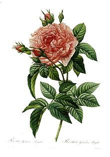 Rosa Gallica Wikipedia La Enciclopedia Libre