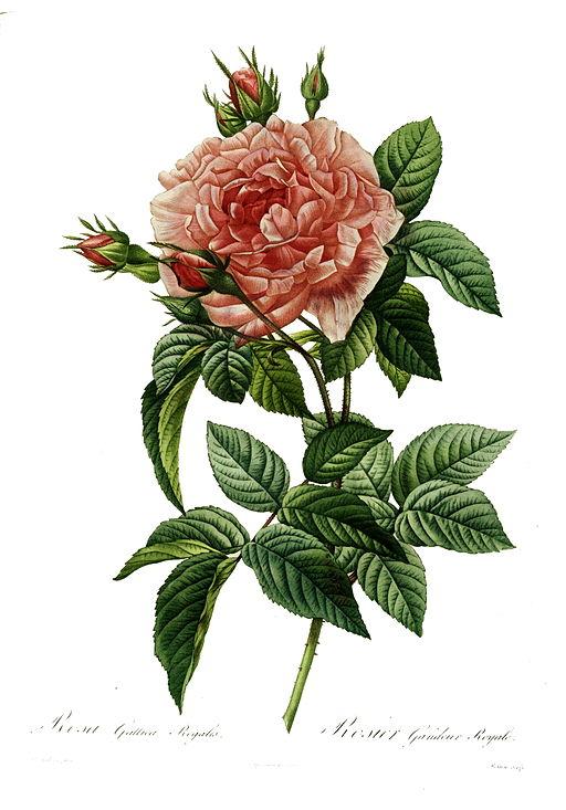 Redoute - Rosa gallica regalis