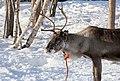 Reindeer farm, Inari, Suomi - Finland 2013-03-10 h.jpg