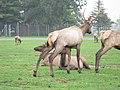 Reindeers (22342841054).jpg